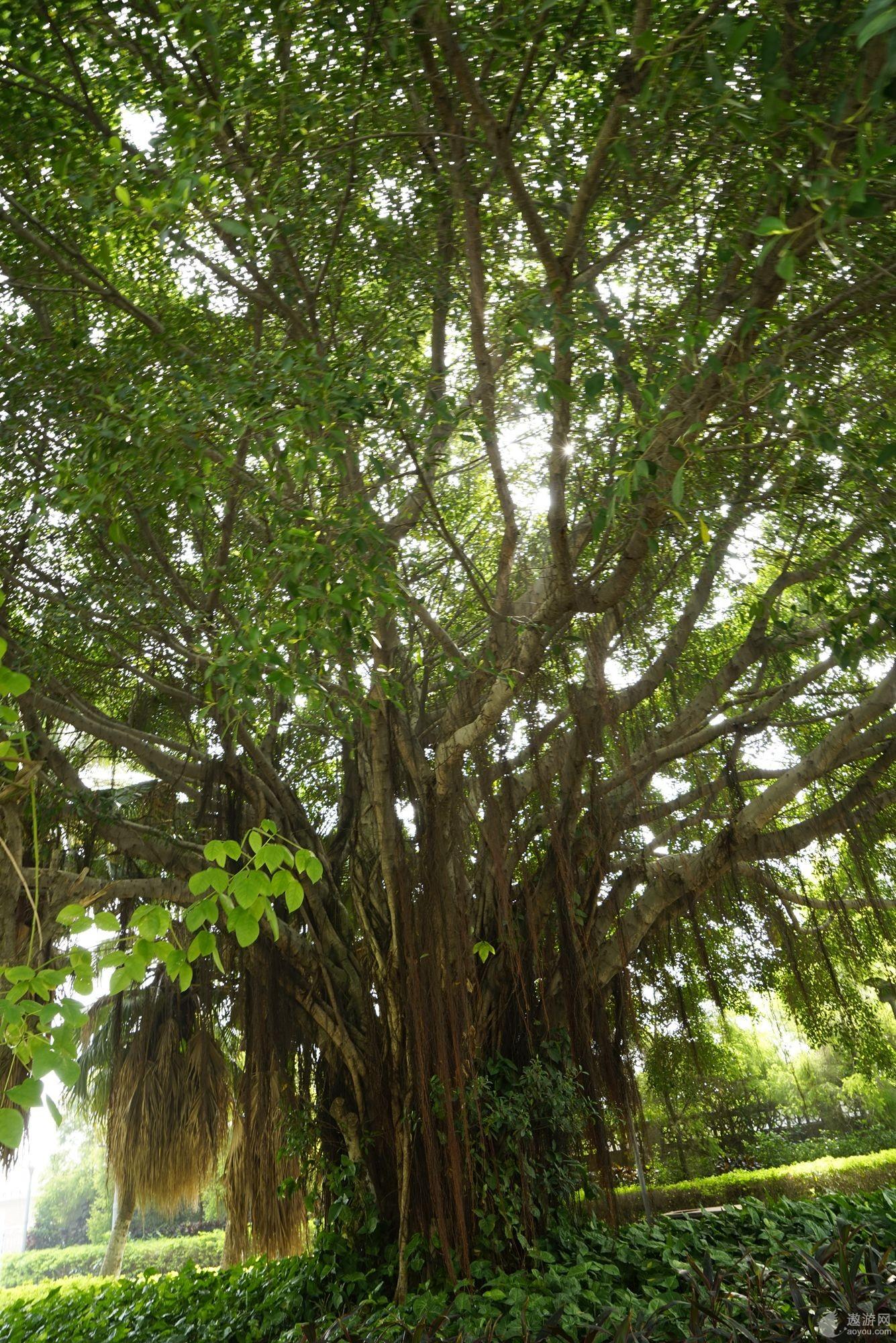 长满胡须的大榕树