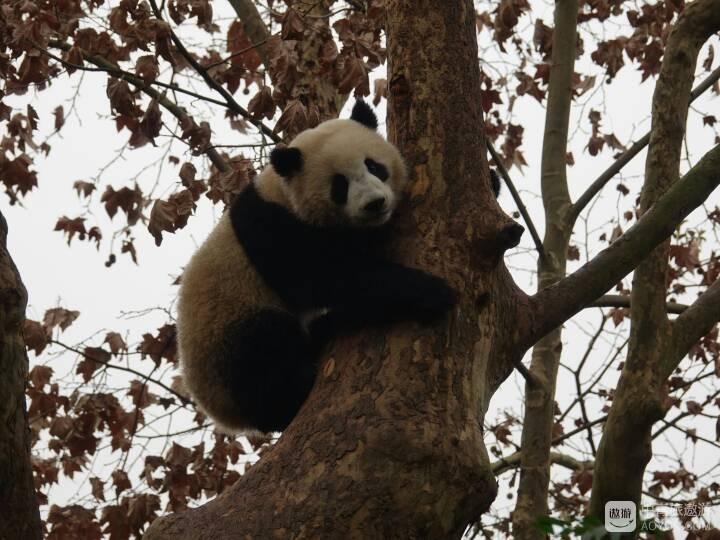 和熊猫妈老武一起去看熊猫宝贝