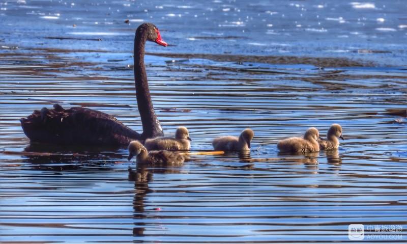 相亲相爱的一家人#圆明园黑天鹅