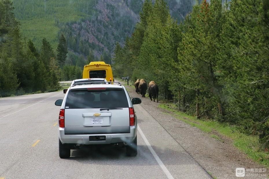 3、野牛移步路肩,让开了道路。.jpg