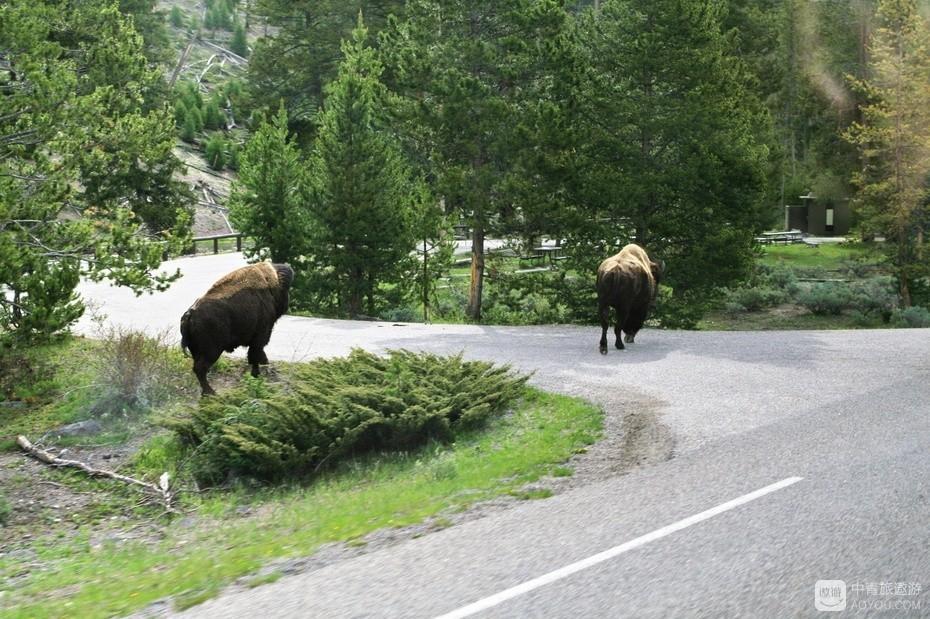4、这是一处停车观景点的匝道,野牛多时也堵车。.jpg