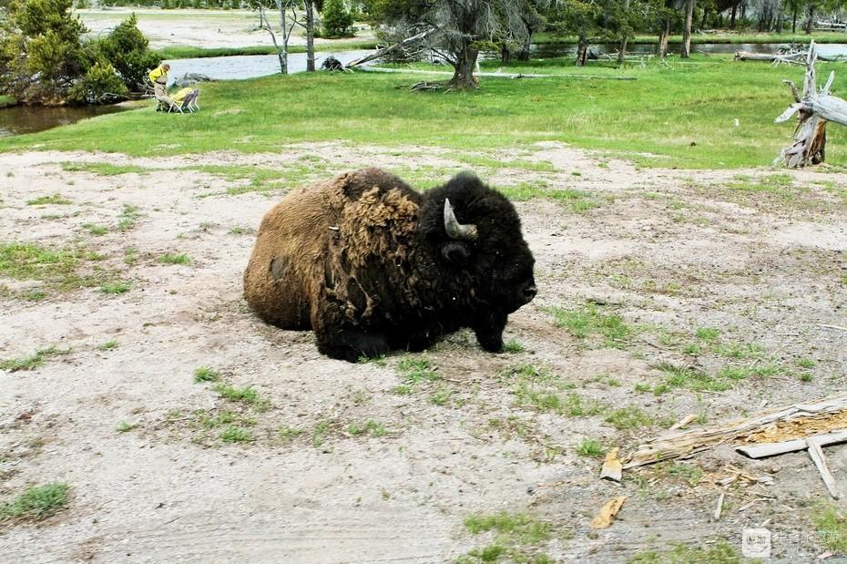 5、皮毛斑驳的野牛,迎来黄石又一个春天。.jpg