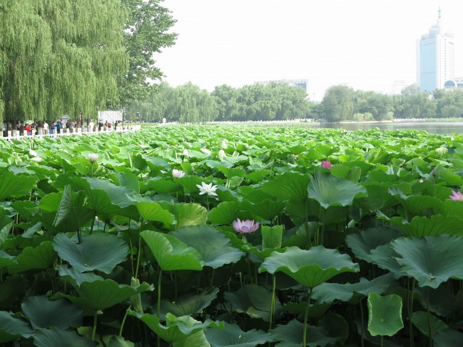 莲花池公园:碧波荡漾垂柳动,微风暗送荷花香