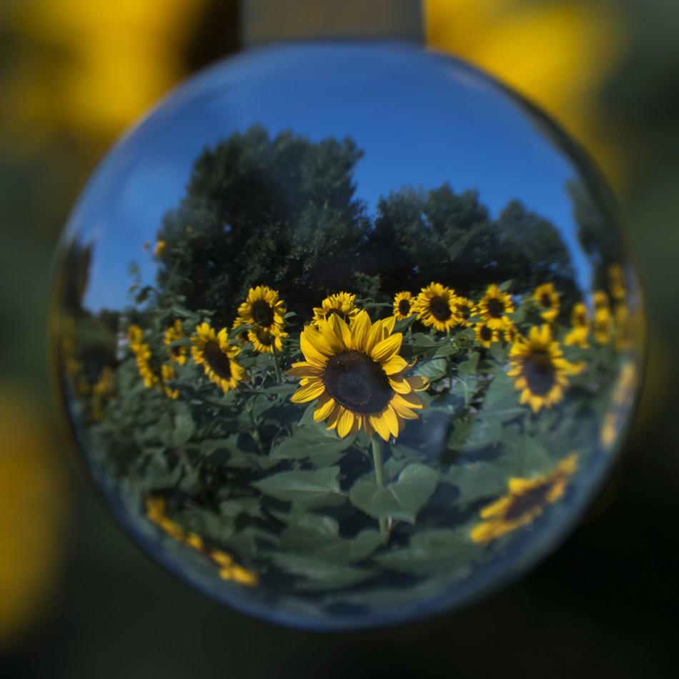 朵朵葵花向阳开~~奥森赏花季