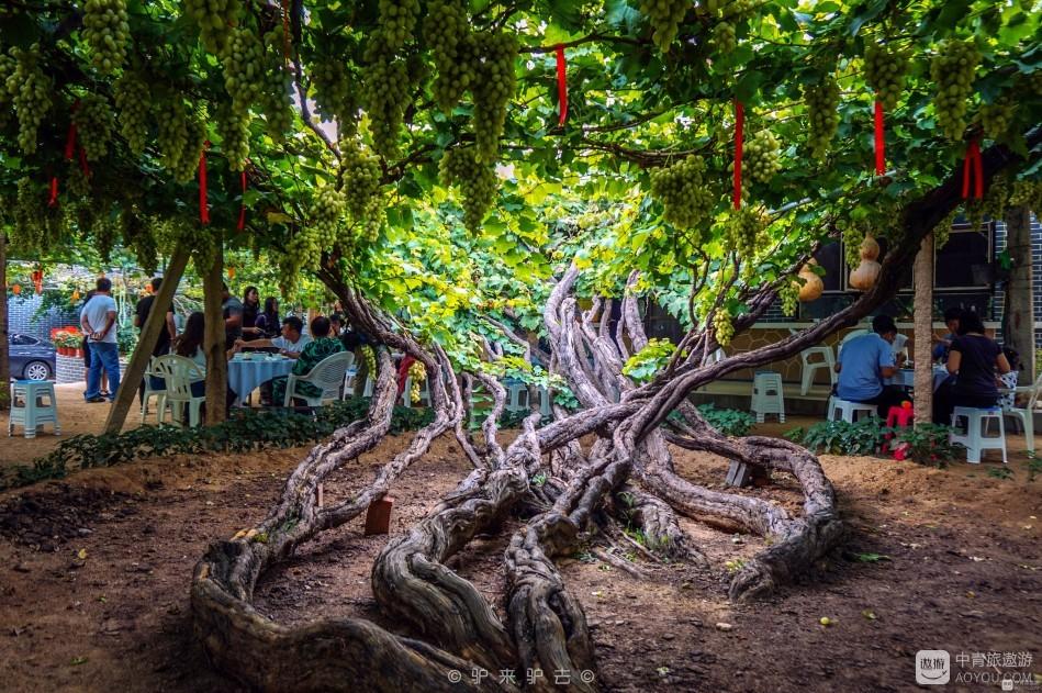 门前一棵百年葡萄树,昌黎葡萄沟里的童年歌谣