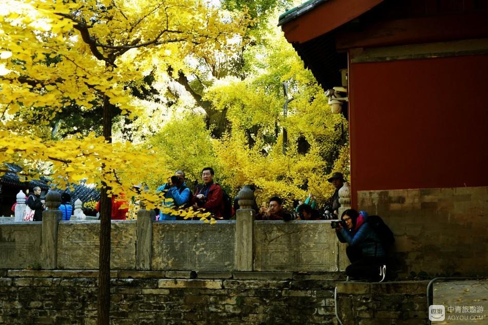 千年古银杏,黄染大觉寺
