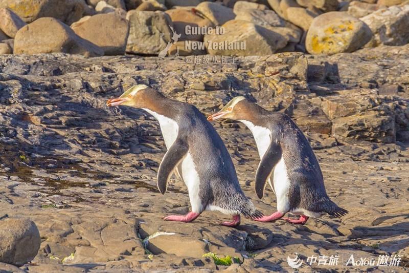 01黄眼企鹅.jpg