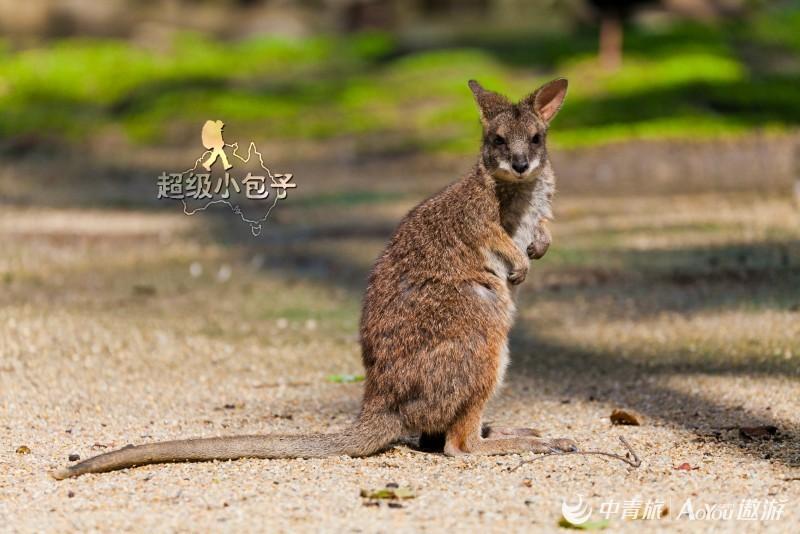 17-度假胜地凯恩斯-道格拉斯港野生动物园里的袋鼠2.jpg