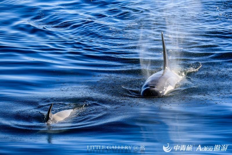 海洋中的狼群 虎鲸