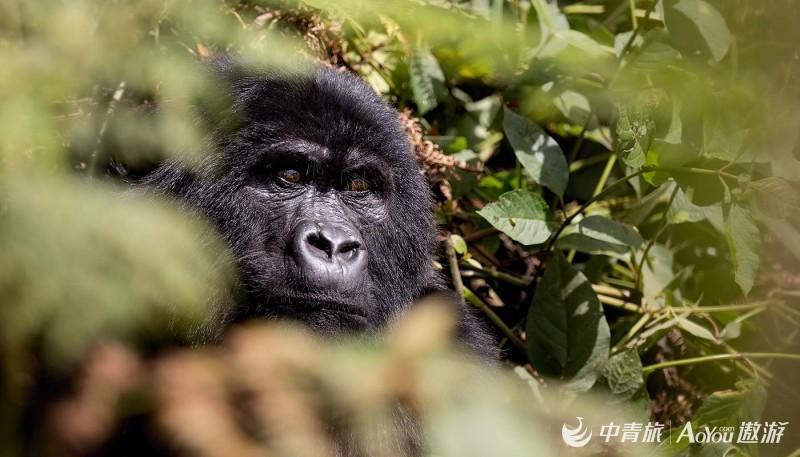 gorilla-eyes-in-bwindi.jpg