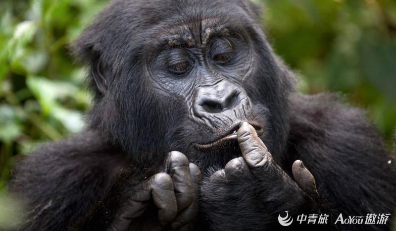 Gorilla-Families-Groups-in-Volcanoes-National-Park-Rwanda.jpg