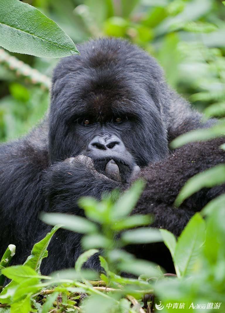 volcanoes-rwanda-gorilla-safari8-768x1067.jpg