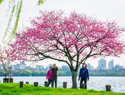 杭州人惦记的白堤桃花开了,西湖桃红绿柳,鸳鸯戏水