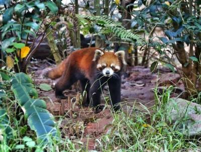 普洱太阳河国家公园,与小熊猫共眠