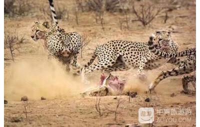 【中青旅遨游前线报道】正在进行的2个团,肯尼亚11日和13日,狂野非洲