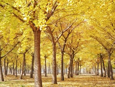 银杏叶飘落时,我在秋深处等你