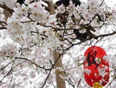 待到樱花浪漫时,再到武汉看一场樱花雨可好