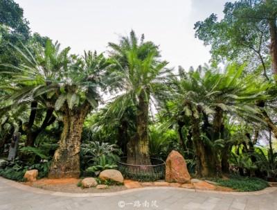 南宁青秀山有棵千年铁树,比唐明皇杨贵妃更早出世!