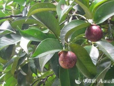 热带水果(第二篇山竹)