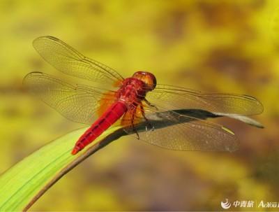 圆明园的红蜻蜓