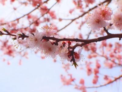 毅行镜泊湖,在那杏花盛开的地方。