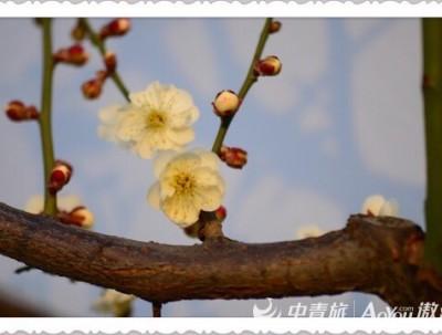 万树寒无色,南枝独有花#明城墙梅花