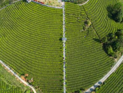 在茶乡现场目睹一次绿茶炒制过程,每一步都决定着茶的...
