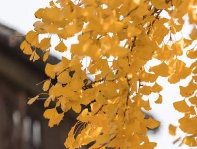 叶落初冬,捕影水乡周庄的那一抹黄
