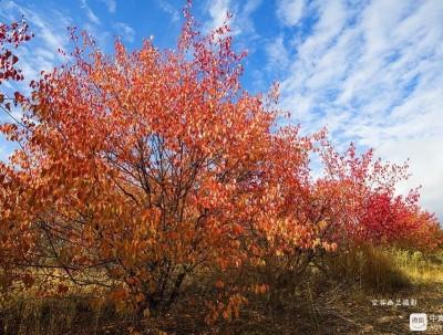 不到新疆不知道有美到惊艳的红叶林