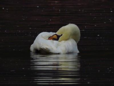 #国庆随手拍#优美白天鹅#北京动物园