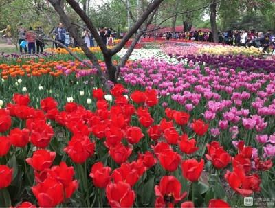 北京植物园 郁金香花盛开