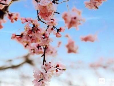 镜泊湖︳穿越大半个中国 看熔岩之上的杏花