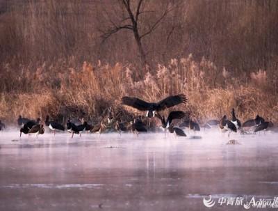 太行山下冶河边 飞来一群白俄罗斯国鸟 却极少有人能看到