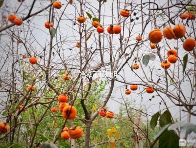 保定柿子沟,看漫山遍野柿子林,体验流失已久的草木染。