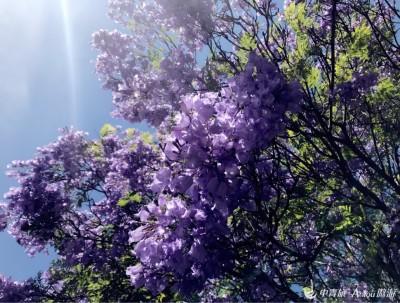 南半球最美的蓝花楹~编个关于Jack&Linda考试的故事