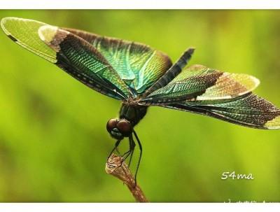 三角蜻蜓,黑衣舞者