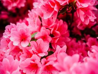 无锡新晋网红花海,80元门票观赏500年杜鹃花,网友直呼好美