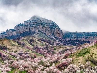 四月的新疆,杏花洒满人间