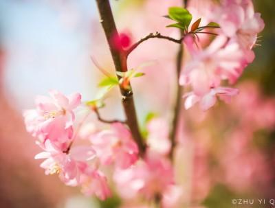 春天一场樱花雨,落在魔都繁华盛开的地方